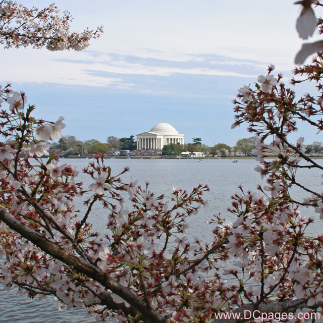 Gifts - Print - Jefferson Memorial Cherry Blossoms (2008)