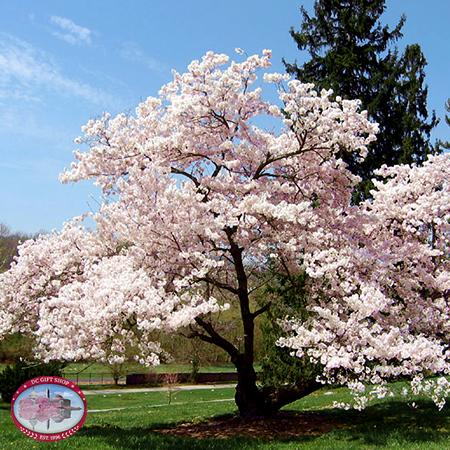 Gifts - Cherry Blossoms - Live Yoshino Cherry Tree