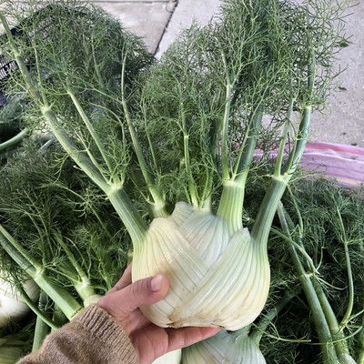 Baby Fennel - 24ct - $20