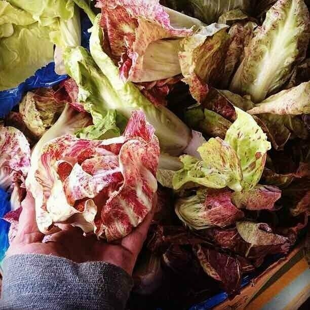 Super Baby Chicory Mix - 3lbs - $27