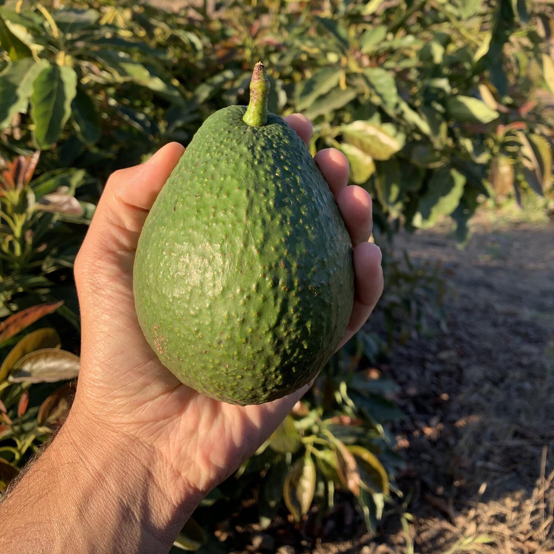 Rincon Tropics Haas Avocados - 2 lbs