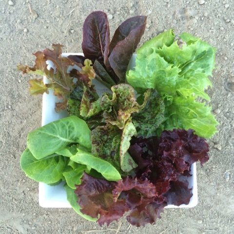 Baby Mixed Lettuce - 2lbs