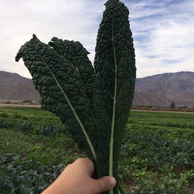 Lacinato Kale - 12bu - $15