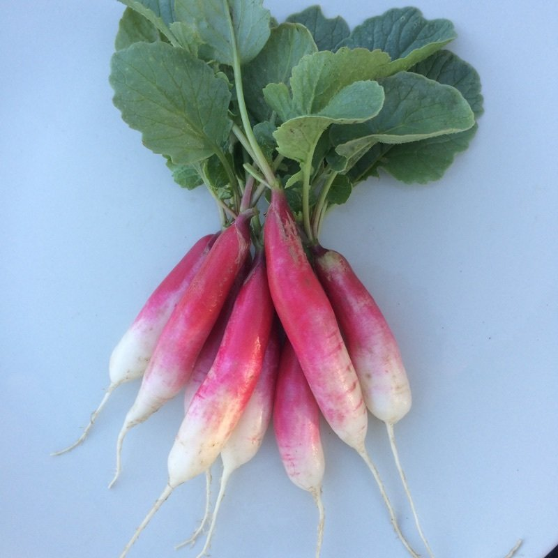 French Breakfast Radish - 24bu - $22