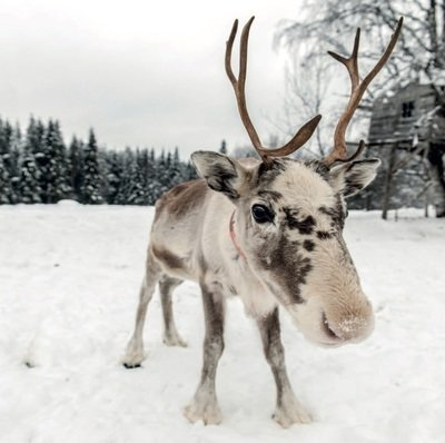 Reindeer in The Snow - pack of ten