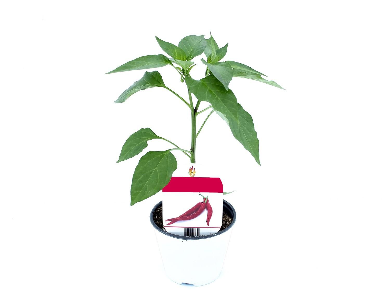 Peperoncino Habanero Chocolate Vaso 10