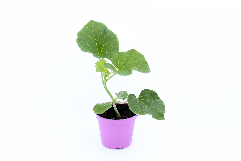 Melone Retato In Vaso 8