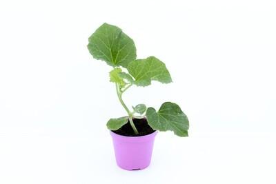 Melone Liscio In Vaso 8