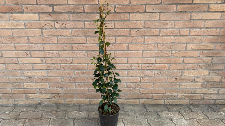 Rincospermum ( Gelsomino Selvatico ) H 1m  ( Pianta Rampicante )