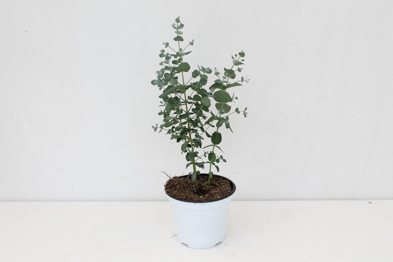 Eucalyptus Vaso 12