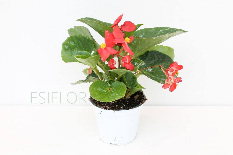 Begonia Gigante V.12