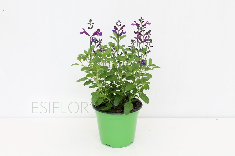 Salvia Greggii Vaso 14