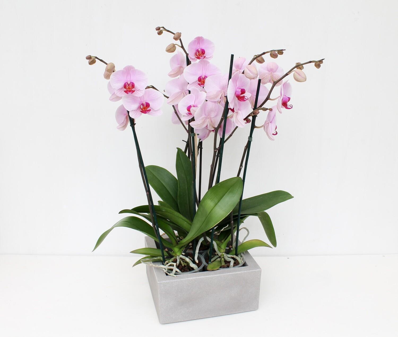 Orchidee Phalaenopsis in Vaso Quadro Resina