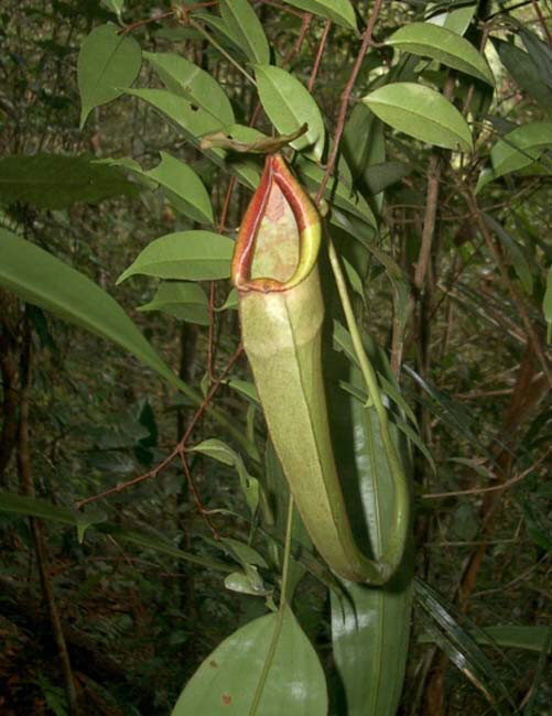 Nepenthes longfolia SG