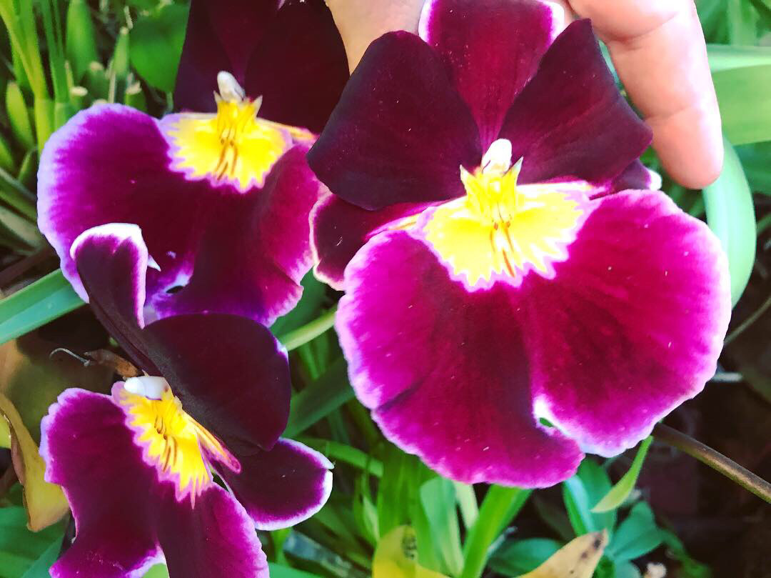 Miltoniopsis Pansy Orchid