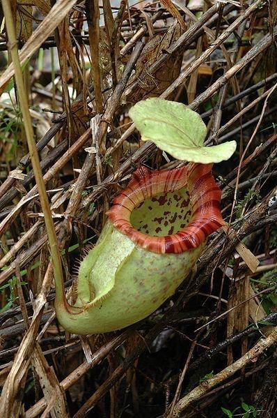 Nepenthes Alisaputrana (rajah x burbidgeae) BE-3931 (Medium/Large)