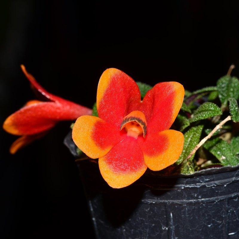 Dendrobium cuthbertsonii Orchid
