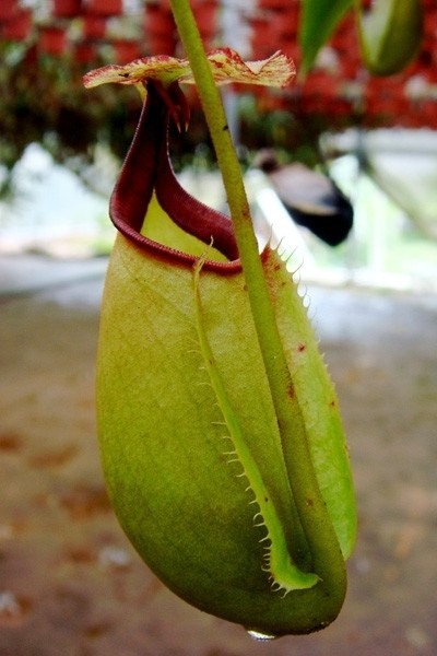 Nepenthes bicalcarata Sri Aman -