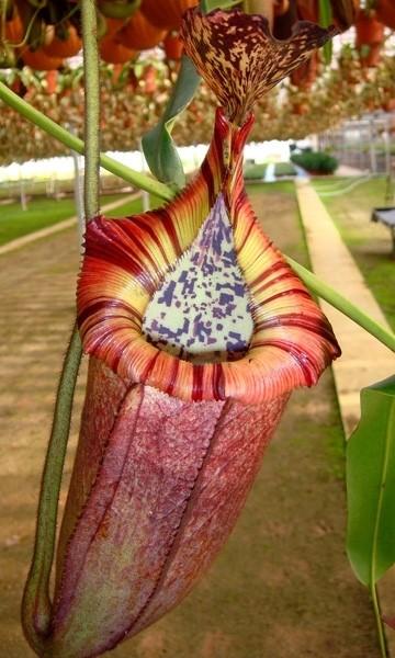 Nepenthes burbidgeae x edwardsiana