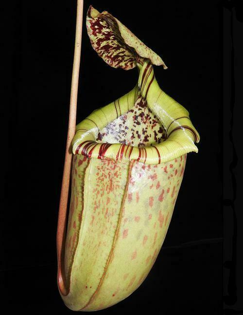 Nepenthes burbidgeae x sibuyanensis BE- 3885