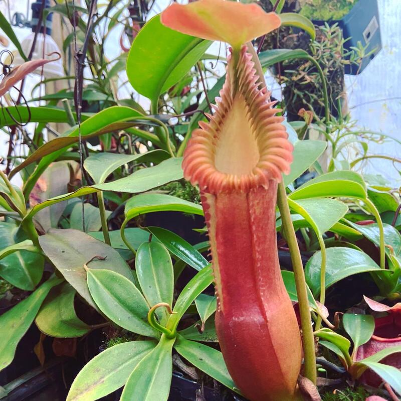 Nepenthes edwardsiana WYSIWYG