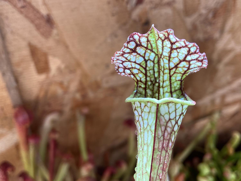 Sarracenia (Moorei red X Black Window) X Bloodmoon (WYSIWYG)