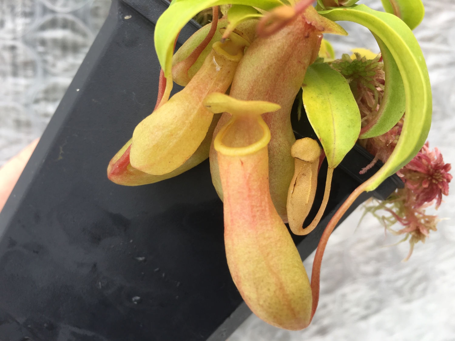 "Nepenthes ventricosa ""Cream Pitchers"" SG Big plant!"