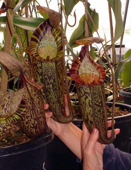 "Nepenthes spectabilis ""Giant form"" BE-3322"