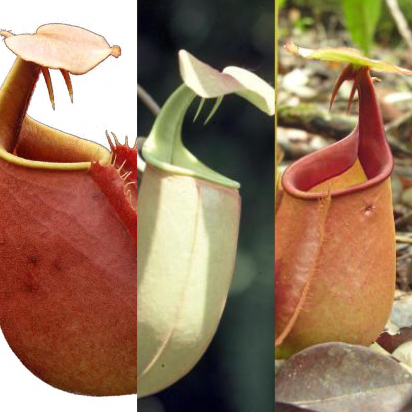 Nepenthes bicalcarata Starter Pack 2.0