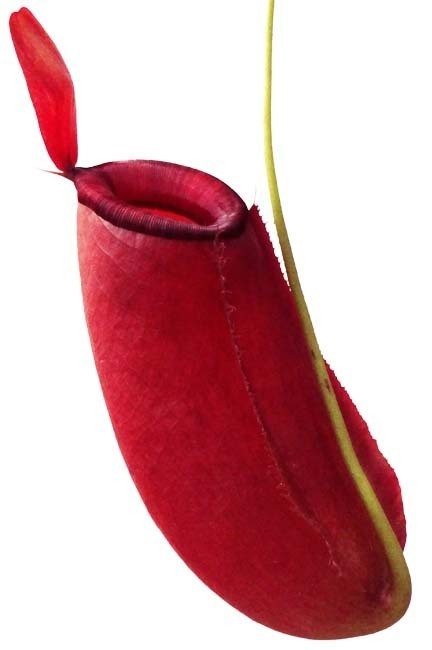 Nepenthes ampullaria x spectabilis BE3674