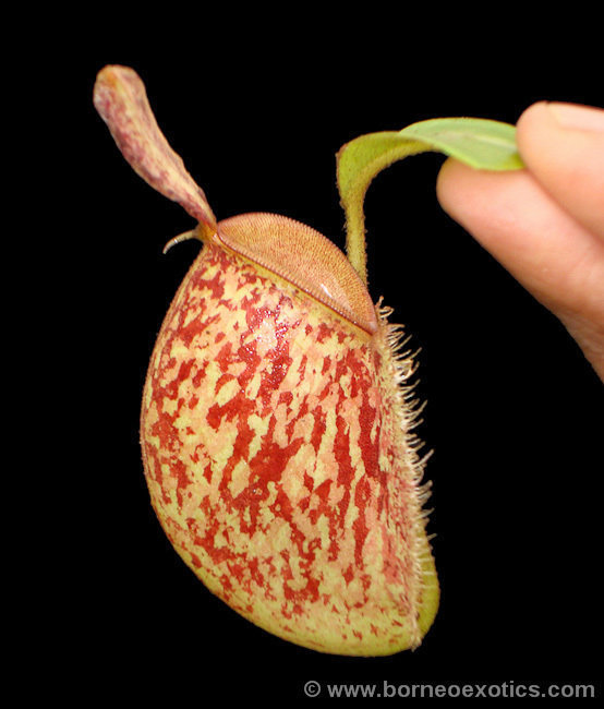 "Nepenthes ampullaria ""Bronze Nabire"" BE-3304"