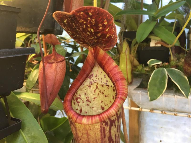 Nepenthes glanduliferia x boschiana Big Plants!