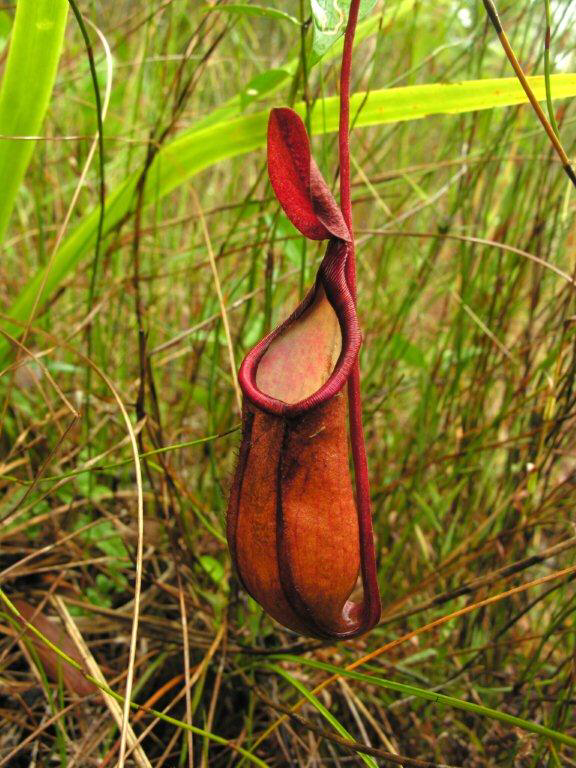 Nepenthes kampotiana