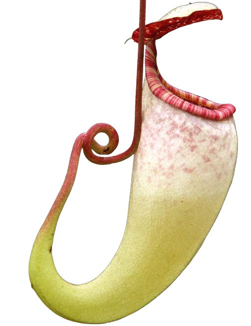 Nepenthes copelandii BE-3046