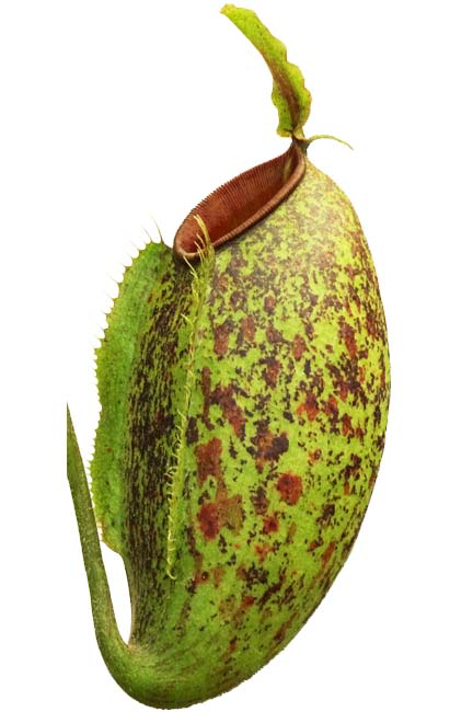 Nepenthes ampullaria x aristolochiodes