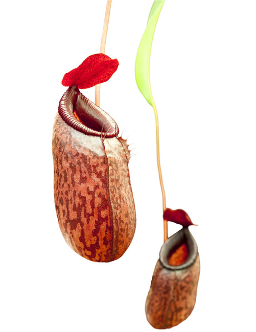 Nepenthes aristolochiodes x ventricosa BE-3447