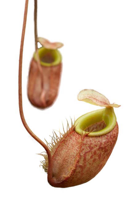 Nepenthes bellii BE-3026