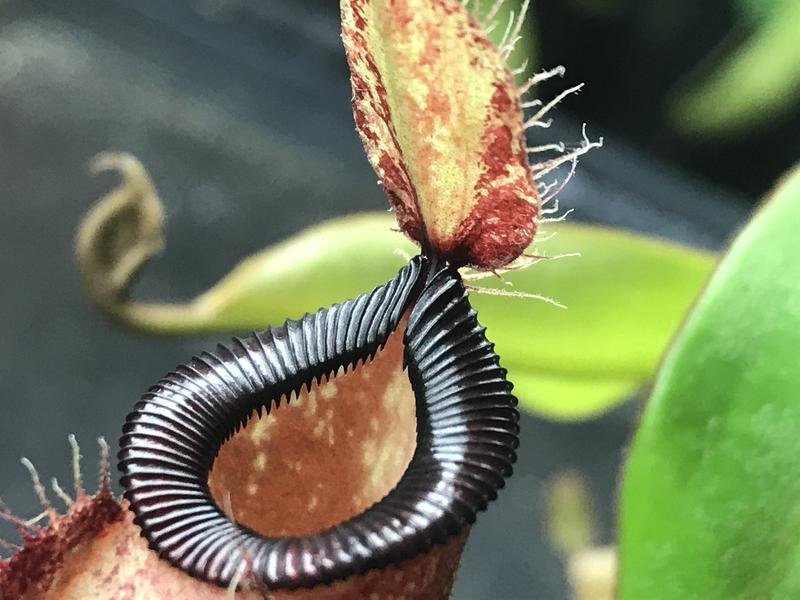 Nepenthes ampullaria x hamata