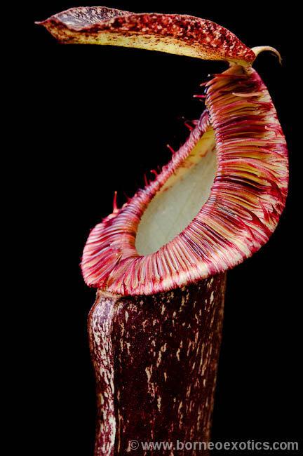 Nepenthes mirabilis var. echinostoma BE-3372 - small