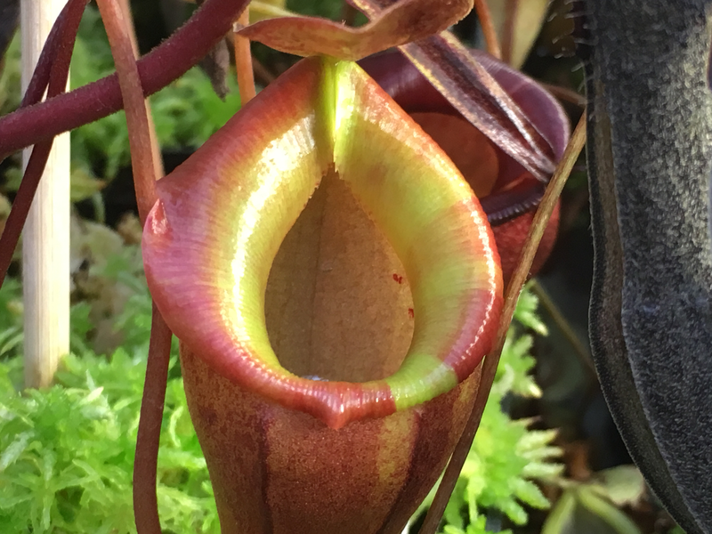 Nepenthes flava seed grown