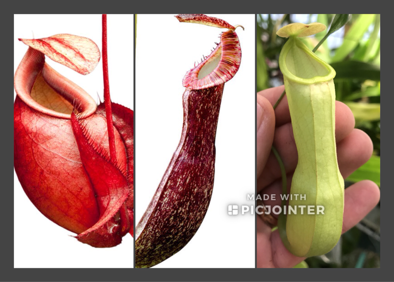 Nepenthes mirabilis Starter Pack