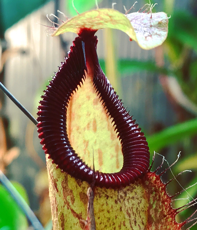 Nepenthes Viking x hamata