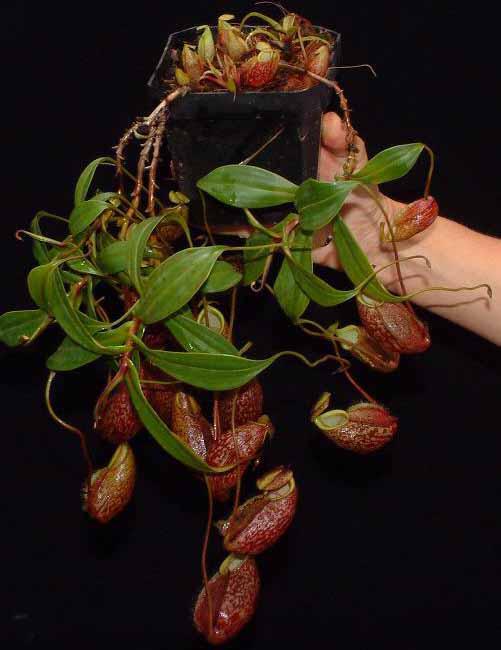 """Nepenthes gymnamphora """"Talakmau """" BE-3077"""