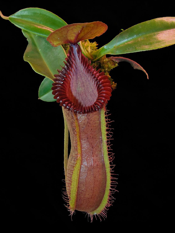 Nepenthes hamata x edwardsiana