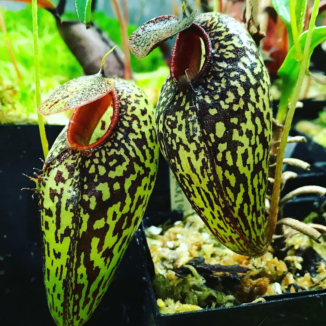 """Nepenthes aristolochioides """"New Location"""" Sumatra"""