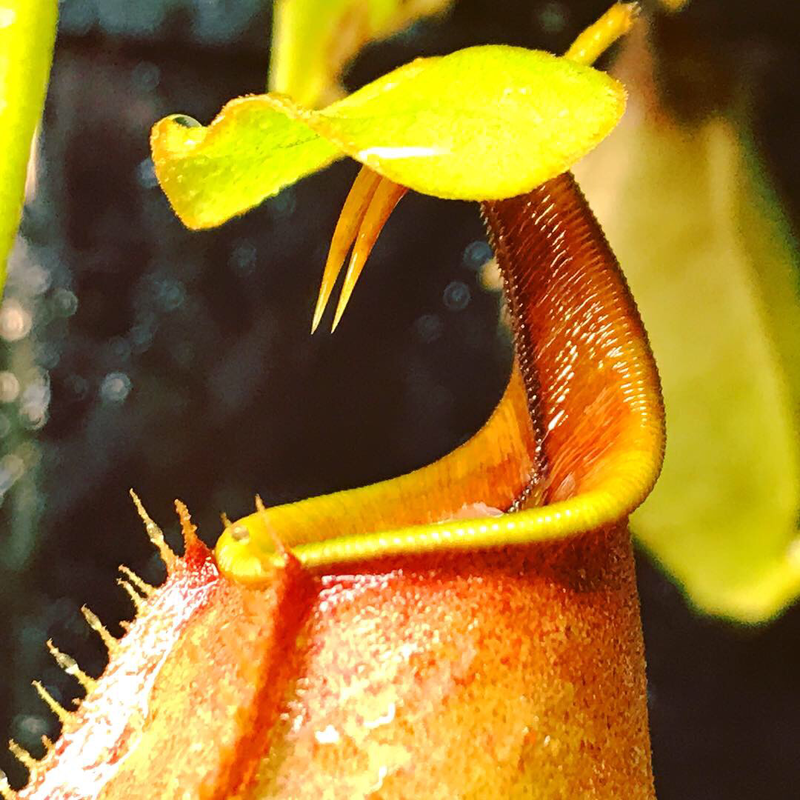 Nepenthes bicalcarata BE-3029 'Brunei Orange'