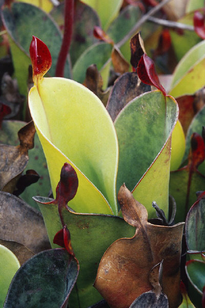 Heliamphora chimantensis Adult pitchers Nice Sized plants!