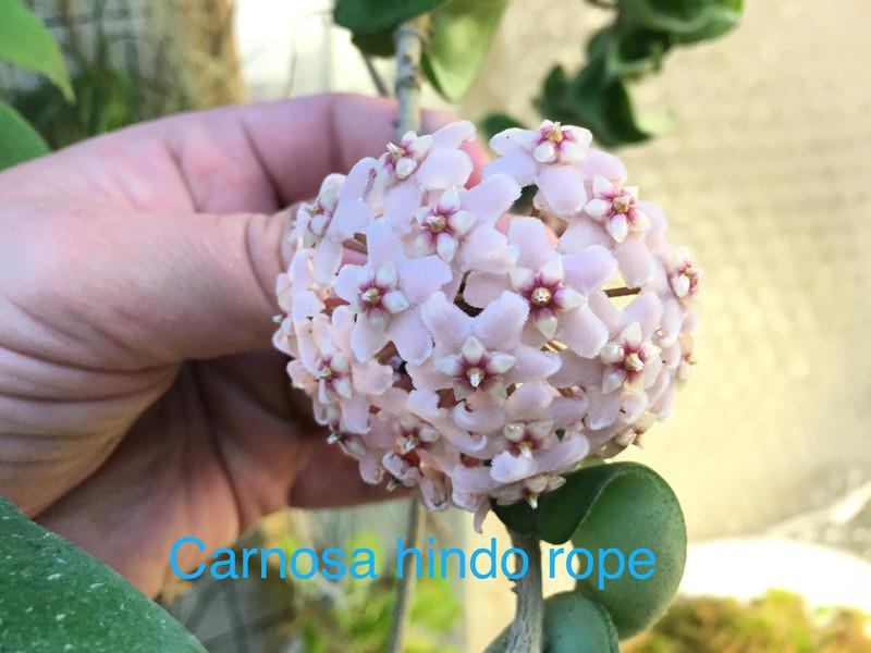 Hoya compacta