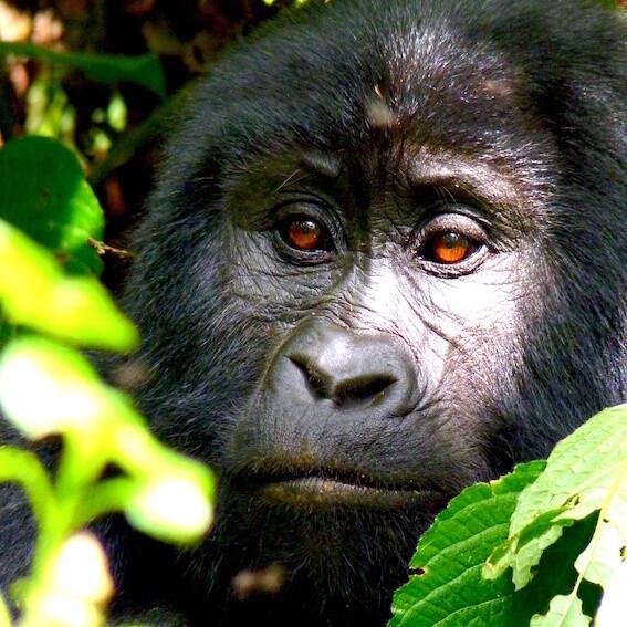 Adopt a Gorilla