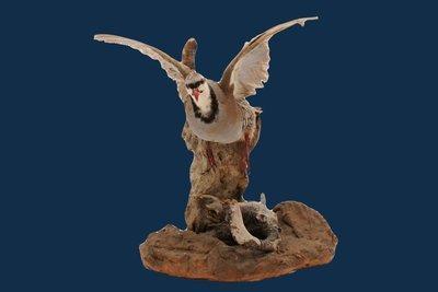 Taxidermy Bird Chukar Partridge Table Mount  Bird in Flight